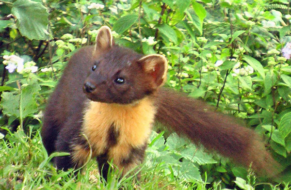 Pine Marten seen very near Aspenwood