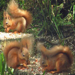 three kitten red squirrel young